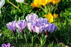 A very first spring flower white crocus in grass in February 2019 royalty free stock image