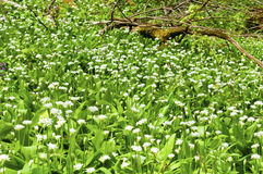 Sunny spring day many wild garlic flowers Royalty Free Stock Photos