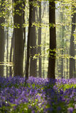 Sunny spring forest with bluebells Stock Photo