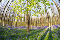 Sunny spring forest with flowering bluebells Stock Image