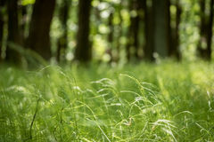 Sunny spring forest with grass, trees and blurred background Stock Photography