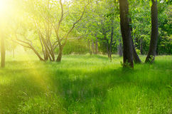 Sunny spring forest Royalty Free Stock Images