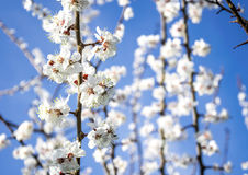 Sunny spring garden. White delicate flowers blooming apricot and blue sky Royalty Free Stock Photo