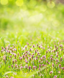 Sunny spring green grass and pink flowers background Royalty Free Stock Images