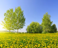 Sunny spring landscape with blooming dandelions Royalty Free Stock Photo