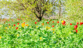 Sunny spring meadow. With red tulips and yellow wildflowers Royalty Free Stock Photography