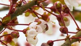 Sunny Spring Morning i Cherry Garden lager videofilmer