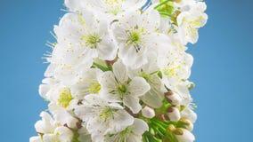 Sunny Spring Morning i Cherry Garden arkivfilmer