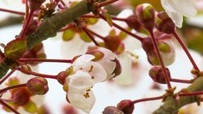 Sunny Spring Morning i Cherry Garden stock video