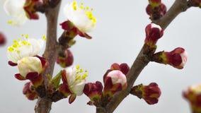 Sunny Spring Morning i persikaträdgård lager videofilmer