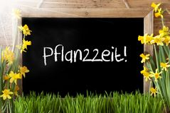 Sunny Spring Narcissus, Chalkboard, Pflanzzeit Means Planting Season. Blackboard With German Text Pflanzzeit Means Planting Season. Sunny Spring Flowers Nacissus Royalty Free Stock Photo