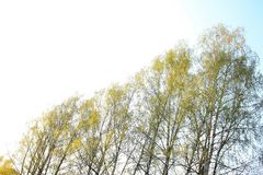 Sunny spring sky and birches. Only in the spring the sky is clear blue and white from the sun on its background of birch,which are just beginning to blossom royalty free stock photography