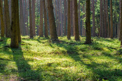 Sunny spruce pine tree forest park moss nobody. Sunny spruce pine tree forest park fresh green moss wood trunk summer natural light nobody Royalty Free Stock Photography