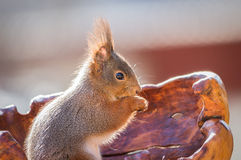Sunny squirrel Royalty Free Stock Photo