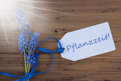 Sunny Srping Grape Hyacinth, Label, Pflanzzeit Means Planting Season. Label With German Text Pflanzzeit Means Planting Season. Sunny Blue Spring Grape Hyacinth Stock Photography