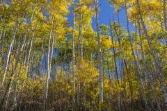 Sunny Stands von goldenem Apsens stockfoto