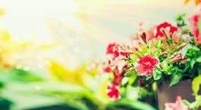 Sunny Summer-aardachtergrond met rode bloemen en greens Royalty-vrije Stock Foto's