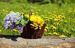 Sunny summer background basket with yellow dandelions and lilacs Royalty Free Stock Photos