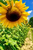 Sunny summer flower. The beauty of sunflower stock photography