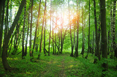 Sunny summer forest Stock Image