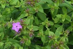 Peek a boo purple flower royalty free stock photos