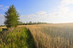 Sunny summer landscape with field of ripe wheat. royalty free stock images