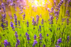 Close-up summer flowers and meadow. Lavender field under sunlight, summer landscape. Sunny summer landscape. Lavender field and summer colors. Relaxing flowers royalty free stock photo