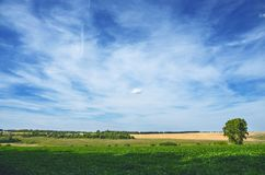 Sunny summer landscape with lonely growing poplar trees between the green soy field and golden fields of ripe wheat. stock photo