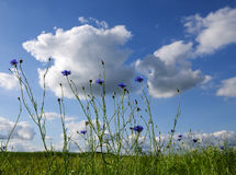 Sunny summer meadow with blooming cornflowers against a blue sky. With clouds, nature background, selected focus, narrow depth of field stock photos