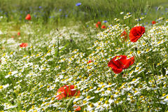 Sunny summer meadow with blooming poppies, many chamomiles or white daisies and cornflowers, beautiful wild flower background wit. H copy space, selected focus royalty free stock photography
