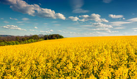 Sunny summer morning in field of blossoming colza Stock Photos