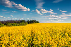 Sunny summer morning in field of blossoming colza Royalty Free Stock Photography