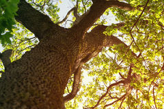 Sunny summer photo of maple tree from below Stock Image