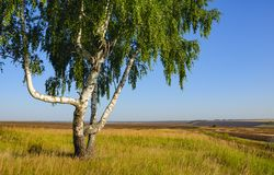 Sunny summer scene with lonely growing birch trees stock image
