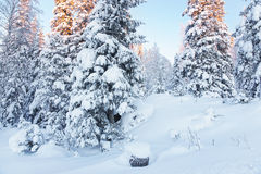 Sunny summits of the trees in a snow covered forest in Ruka vill Stock Photo