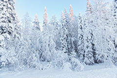 Sunny summits of the trees in a snow covered forest in Ruka vill Royalty Free Stock Photos
