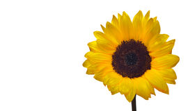 A sunny sunflower. Stock Photo