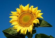 Sunny sunflower. Bright, yellow sunflowers captures against the blue sky. It is very similar to the bright sun Stock Photography