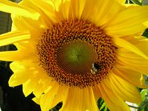 Sunny Sunflower royaltyfri bild