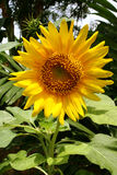 Sunny sunflower stock image