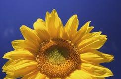 Sunny Sunflower. Sunflower shot against a deep blue summer sky Royalty Free Stock Photo