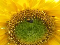 Sunny Sunflower & Bezige Bij Stock Afbeeldingen