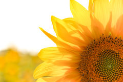 Sunny Sunflower Close su Fotografia Stock