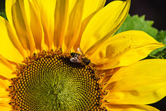 Sunny Sunflower Royalty Free Stock Images