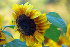 Sunny Sunflower. A close up of a single sunflower in a field of sunflowers Royalty Free Stock Image