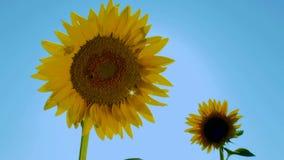 Sunny Sunflower stock video