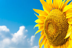 Sunny sunflower closeup. On the background of blue sky Stock Image