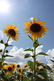 Sunny Sunflower Field Fotografia Stock