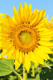 Sunny sunflower in a field, macro Stock Photo