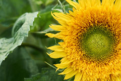 Sunny sunflower grows on the home bed. Natural background Royalty Free Stock Photo